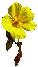 Fleurs de bach et Covid-19